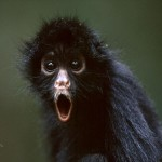 A somewhat surprised spider monkey.