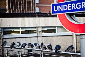 London Underground sign and pigeons