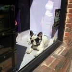 Dogs in London: Soho's French Bulldog Gang