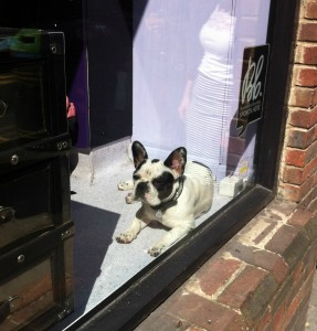 Bo the French Bulldog in Soho hairdressers