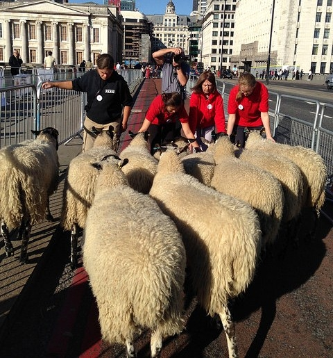 herd the sheep
