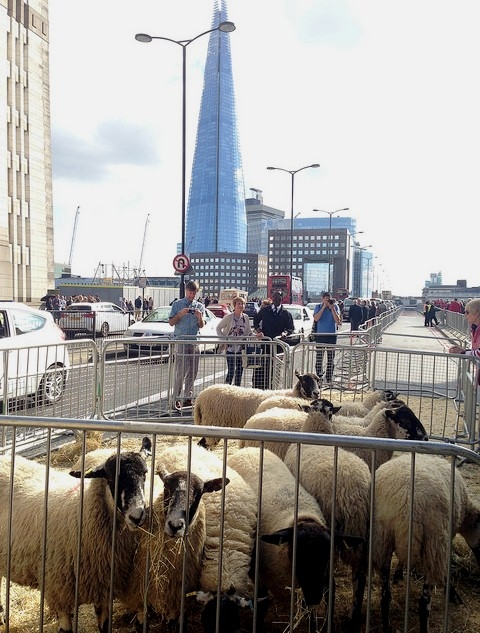 london bridge with shard and sheep